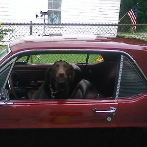 chocolate lab and a mustang